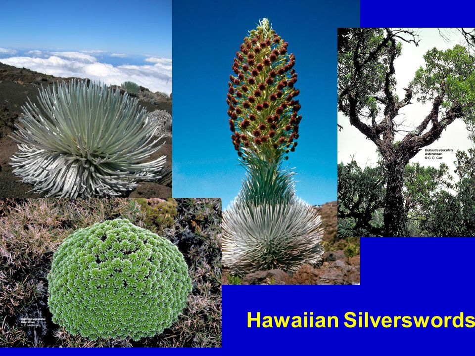 Hawaiian Silverswords