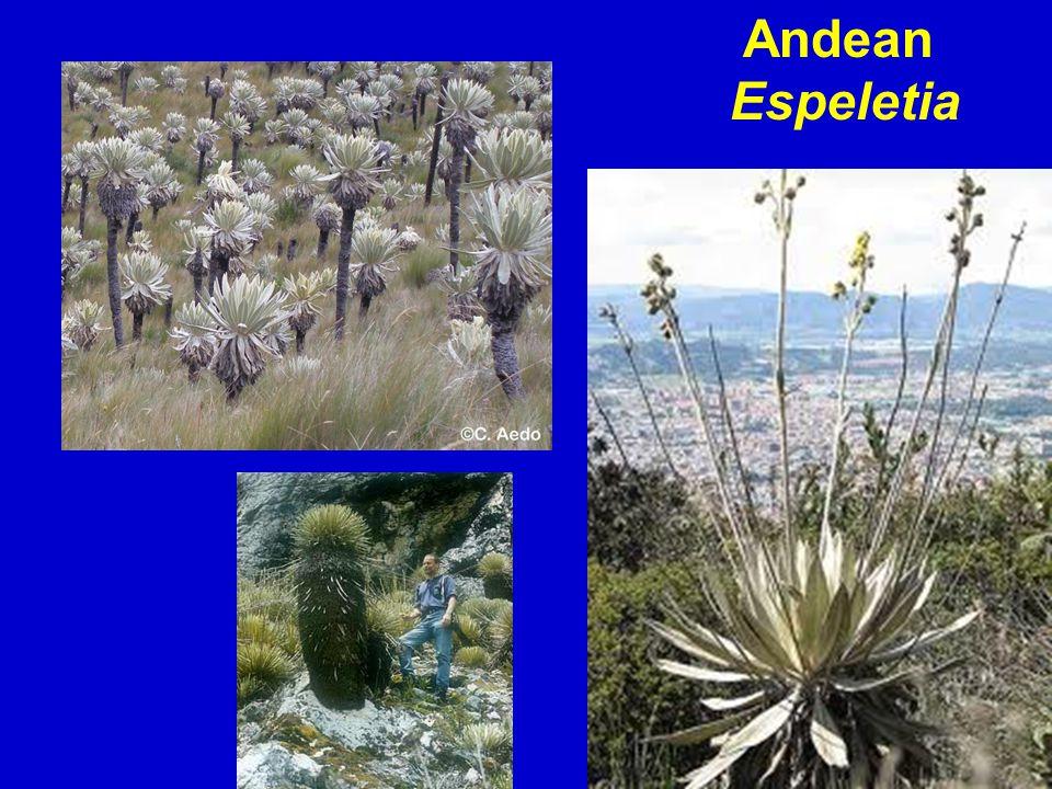 Andean Espeletia