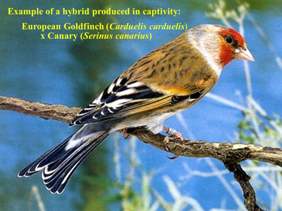 x Canary (Serinus canarius) Example of a hybrid produced in captivity: European Goldfinch (Carduelis carduelis)