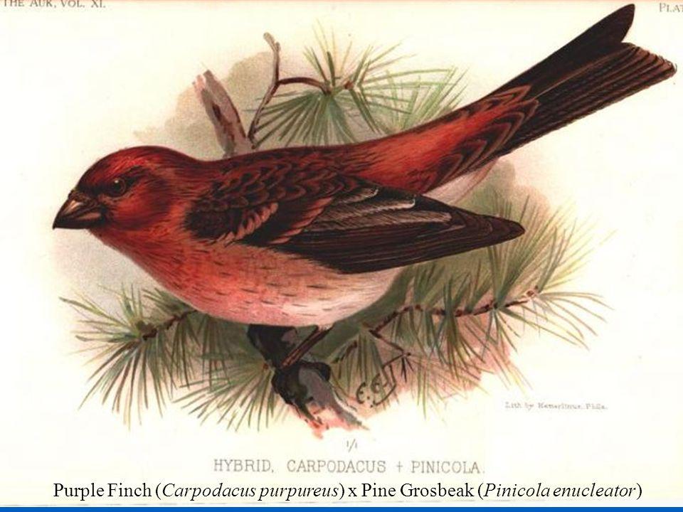Rates of Natural Hybridization NonpasserinesPasserines NHR497(116)331(32) Purple Finch (Carpodacus purpureus) x Pine Grosbeak (Pinicola enucleator)