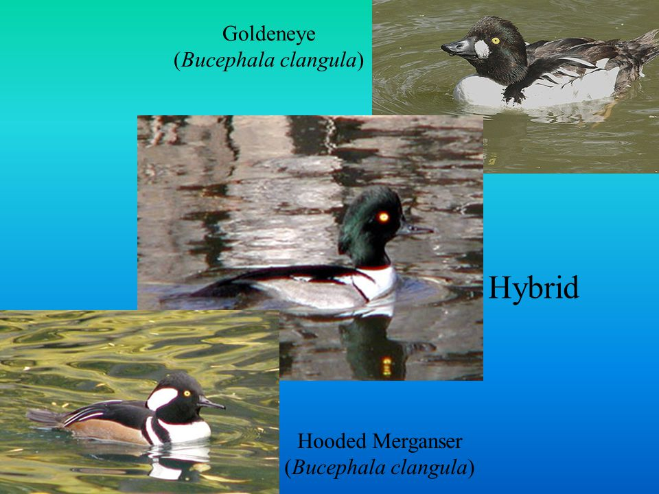 Hybrid Goldeneye (Bucephala clangula) Hooded Merganser (Bucephala clangula)