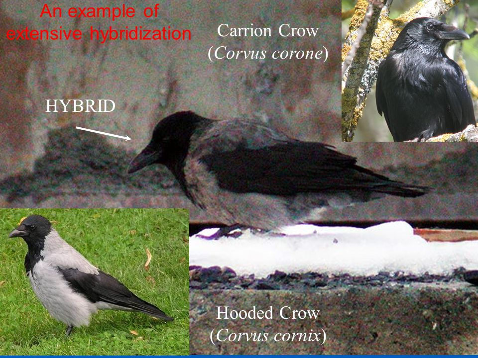 Hooded Crow (Corvus cornix) HYBRID Carrion Crow (Corvus corone) An example of extensive hybridization
