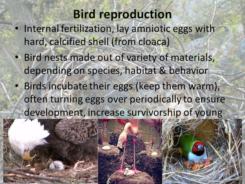 Internal fertilization, lay amniotic eggs with hard, calcified shell (from cloaca) Bird nests made out of variety of materials, depending on species,