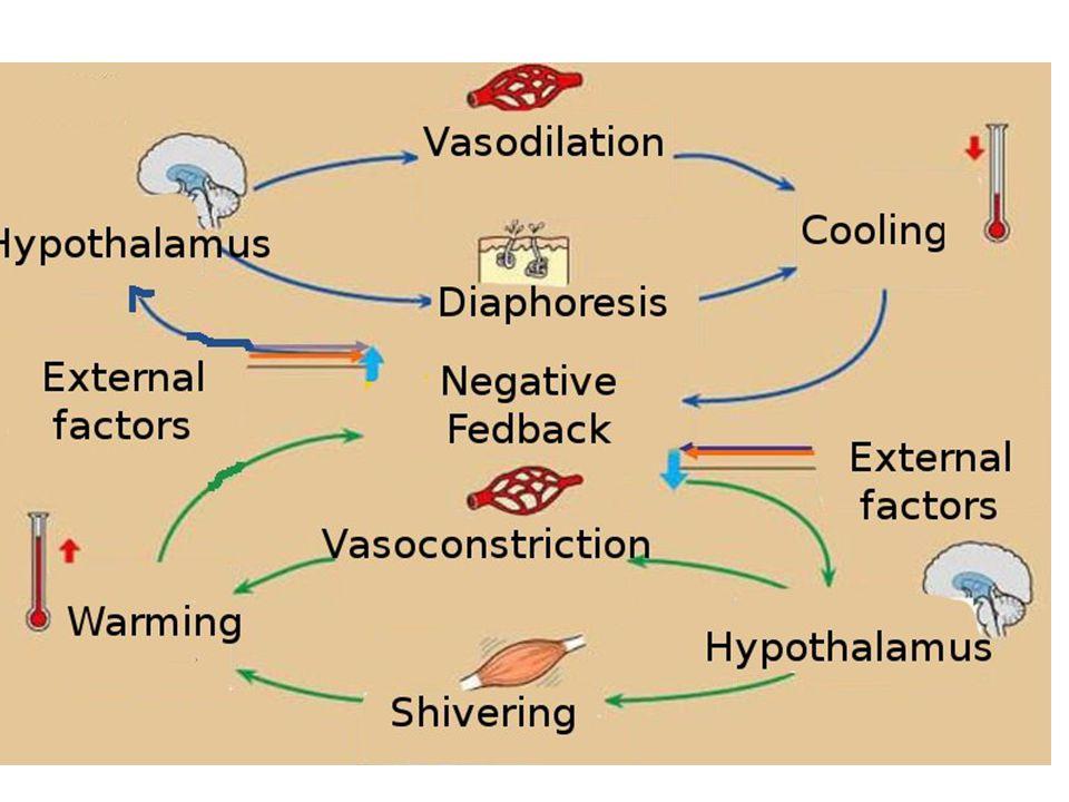 Homeostasis of Blood Glucose