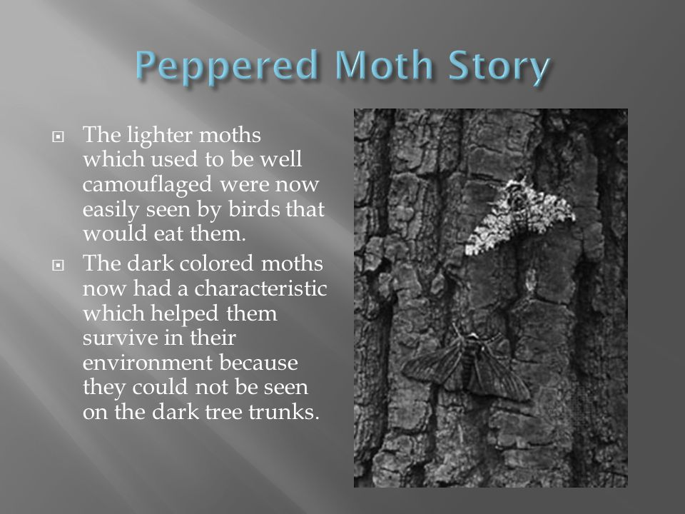  The lighter moths which used to be well camouflaged were now easily seen by birds that would eat them.  The dark colored moths now had a characteri