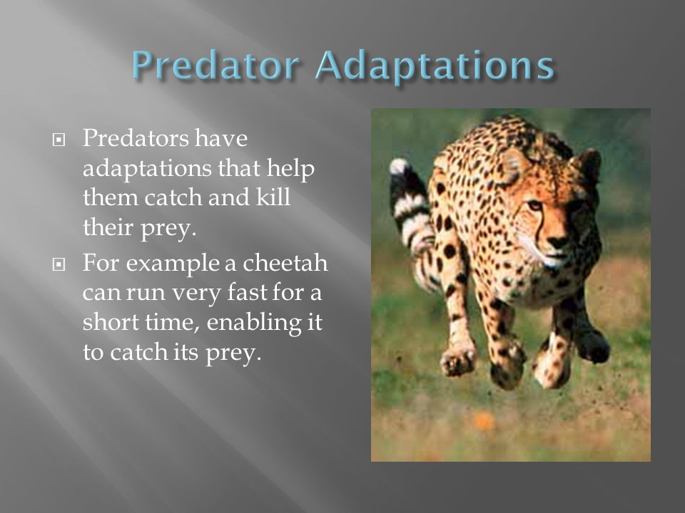  Predators have adaptations that help them catch and kill their prey.  For example a cheetah can run very fast for a short time, enabling it to catc