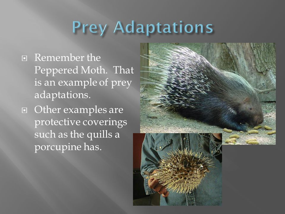  Remember the Peppered Moth. That is an example of prey adaptations.  Other examples are protective coverings such as the quills a porcupine has.