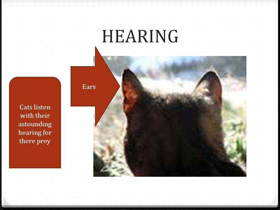 HEARING Cats listen with their astounding hearing for there prey Ears
