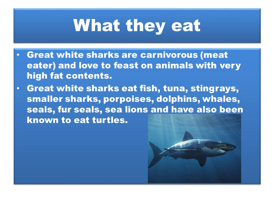 What they eat Great white sharks are carnivorous (meat eater) and love to feast on animals with very high fat contents. Great white sharks eat fish, t