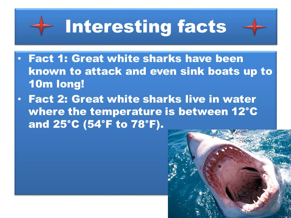 Interesting facts Fact 1: Great white sharks have been known to attack and even sink boats up to 10m long! Fact 2: Great white sharks live in water wh