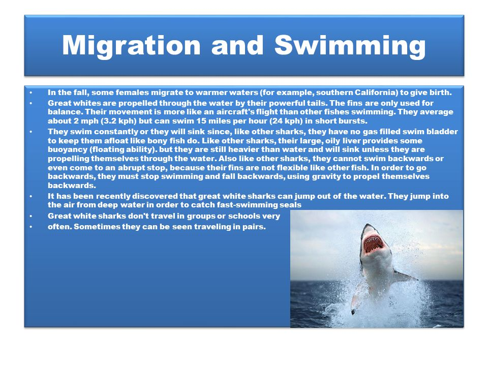 Migration and Swimming In the fall, some females migrate to warmer waters (for example, southern California) to give birth. Great whites are propelled