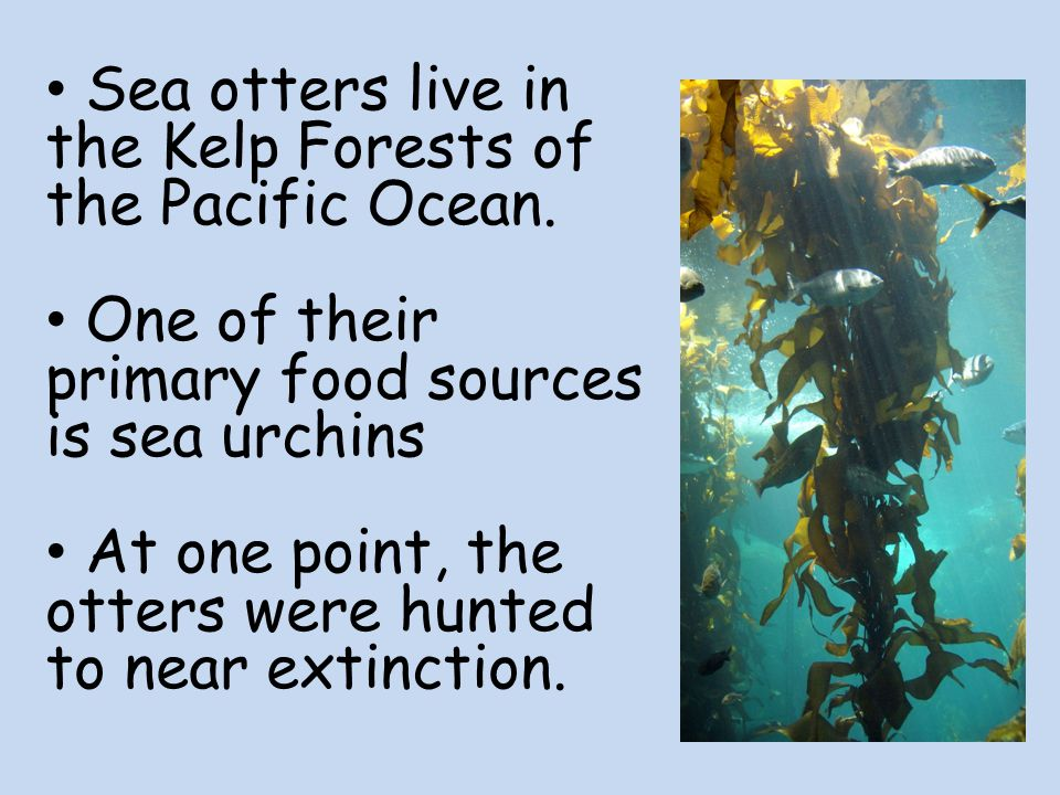Sea otters live in the Kelp Forests of the Pacific Ocean.