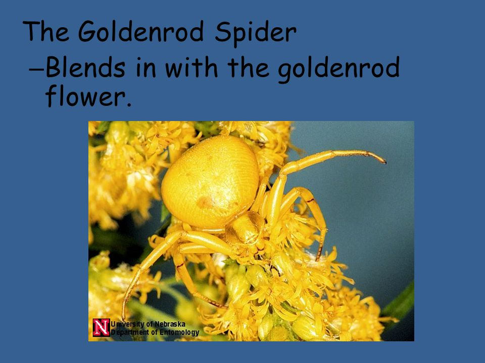The Goldenrod Spider – Blends in with the goldenrod flower.