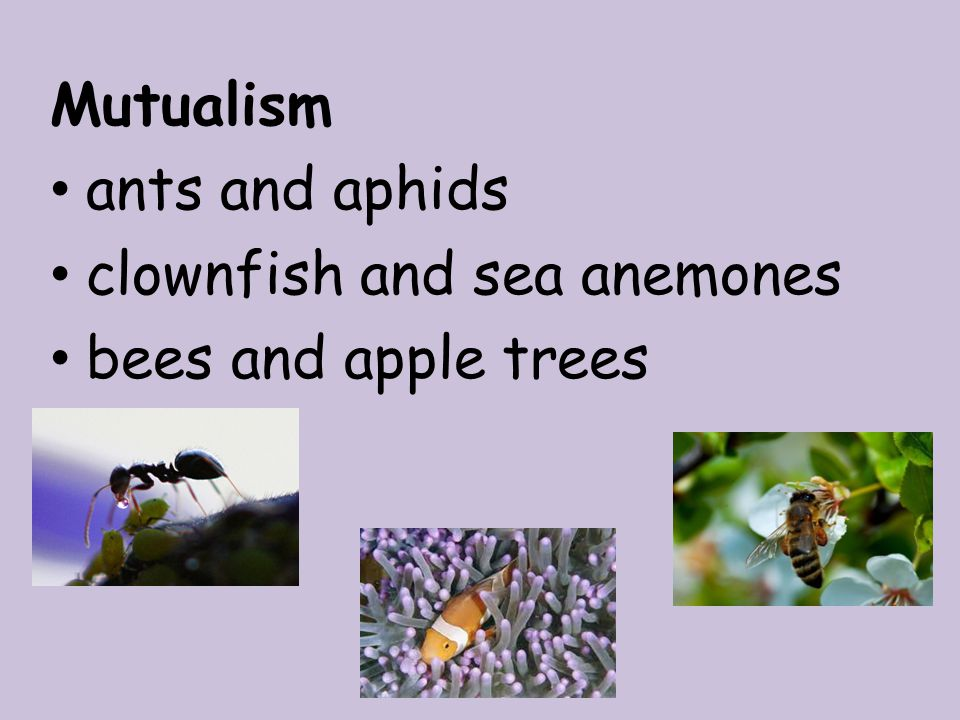 Mutualism ants and aphids clownfish and sea anemones bees and apple trees