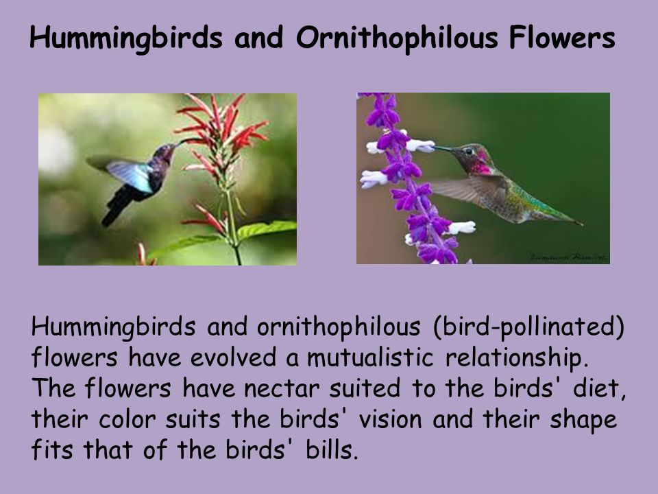 Hummingbirds and Ornithophilous Flowers Hummingbirds and ornithophilous (bird-pollinated) flowers have evolved a mutualistic relationship.
