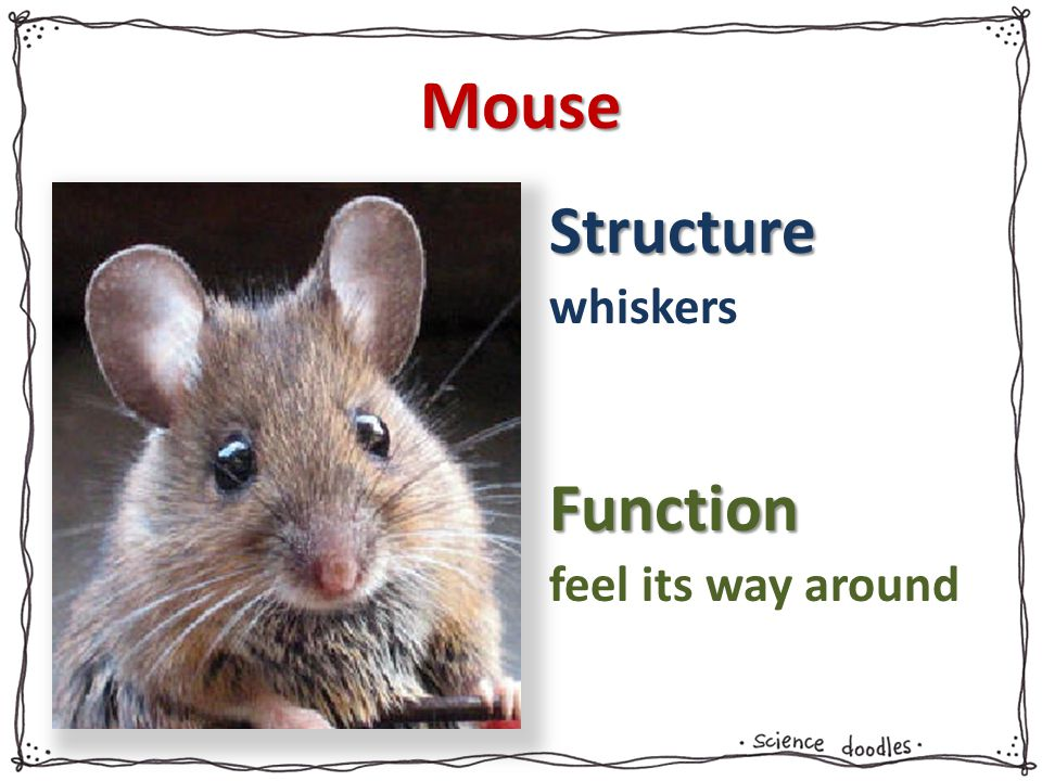 Structure Function Mouse whiskers feel its way around