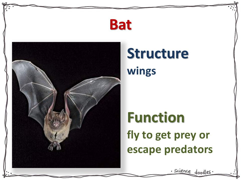 Structure Function Bat wings fly to get prey or escape predators