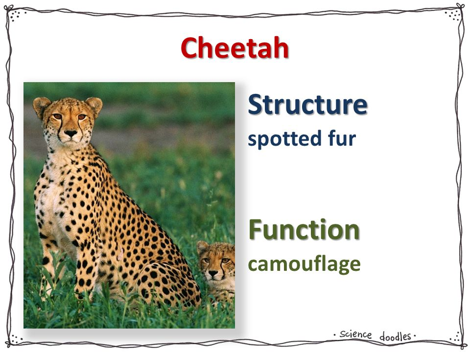 Structure Function Cheetah spotted fur camouflage
