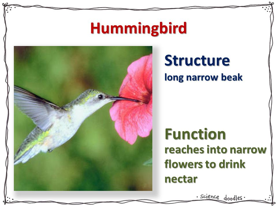 Hummingbird Structure long narrow beak Function reaches into narrow flowers to drink nectar