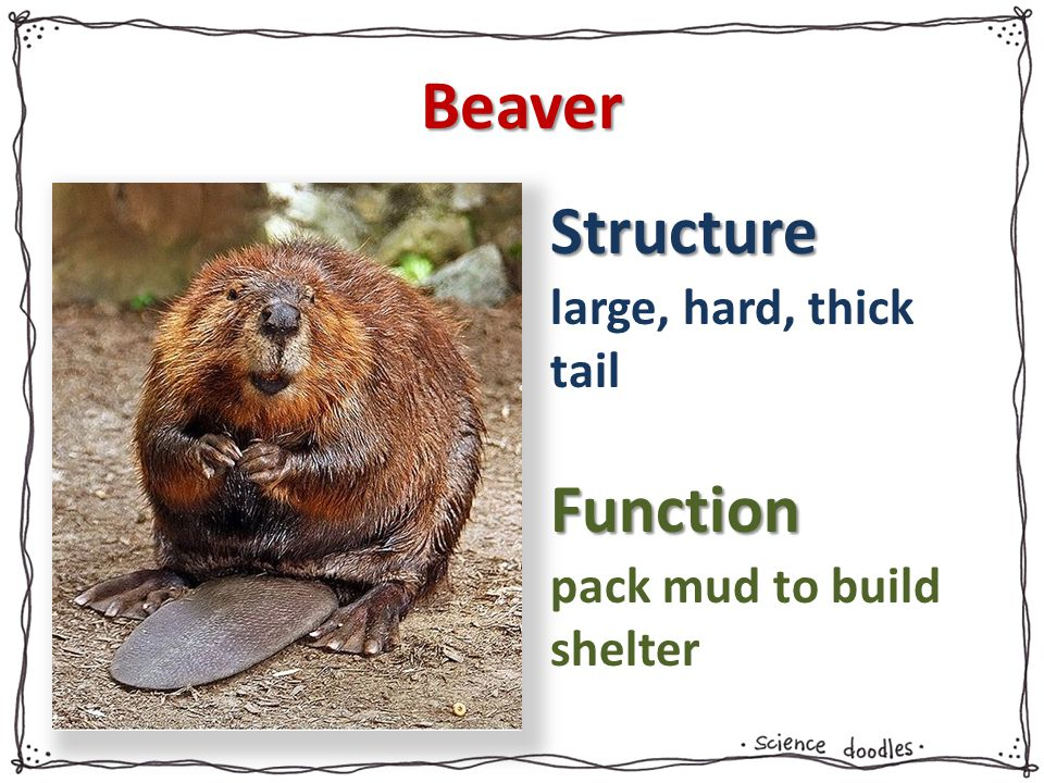 Structure Function Beaver large, hard, thick tail pack mud to build shelter