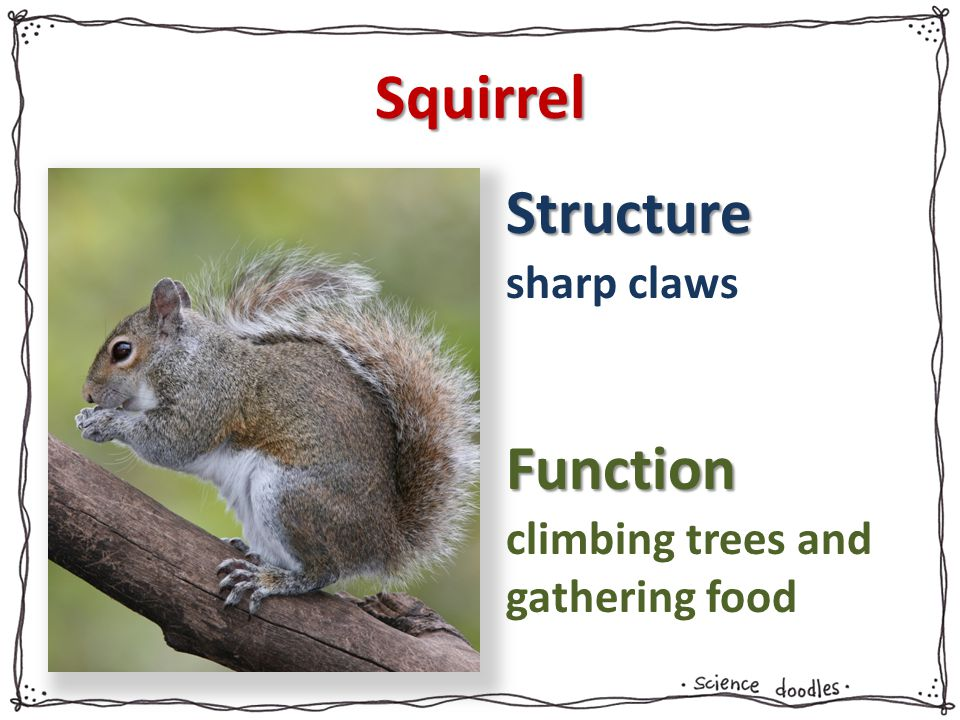 Structure Function Squirrel sharp claws climbing trees and gathering food