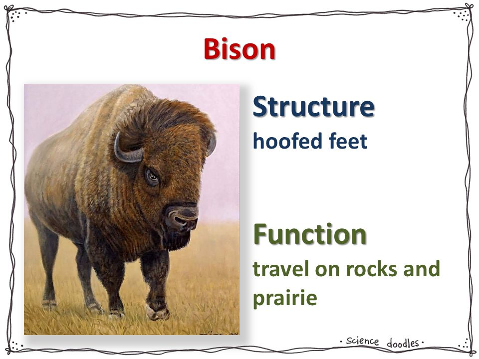 Structure Function Bison hoofed feet travel on rocks and prairie