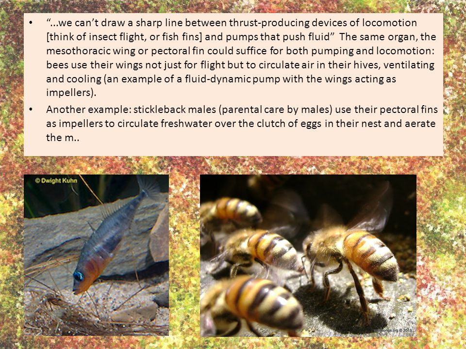 ...we can't draw a sharp line between thrust-producing devices of locomotion [think of insect flight, or fish fins] and pumps that push fluid The same organ, the mesothoracic wing or pectoral fin could suffice for both pumping and locomotion: bees use their wings not just for flight but to circulate air in their hives, ventilating and cooling (an example of a fluid-dynamic pump with the wings acting as impellers).
