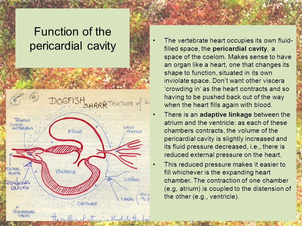 Function of the pericardial cavity The vertebrate heart occupies its own fluid- filled space, the pericardial cavity, a space of the coelom.