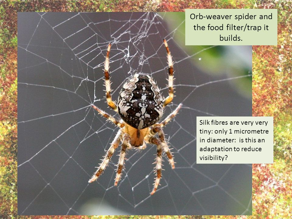 Orb-weaver spider and the food filter/trap it builds.