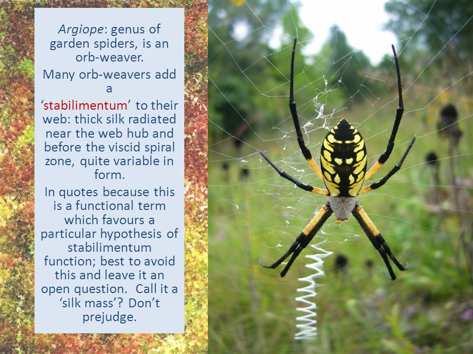 Ted McRae Argiope: genus of garden spiders, is an orb-weaver.