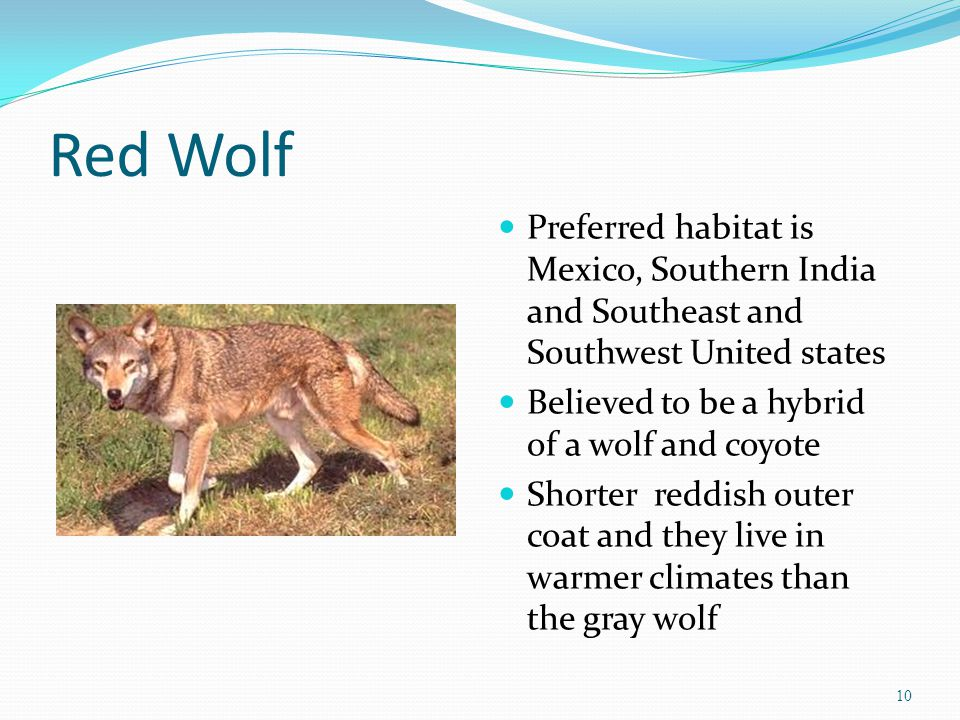 Red Wolf Preferred habitat is Mexico, Southern India and Southeast and Southwest United states Believed to be a hybrid of a wolf and coyote Shorter reddish outer coat and they live in warmer climates than the gray wolf 10
