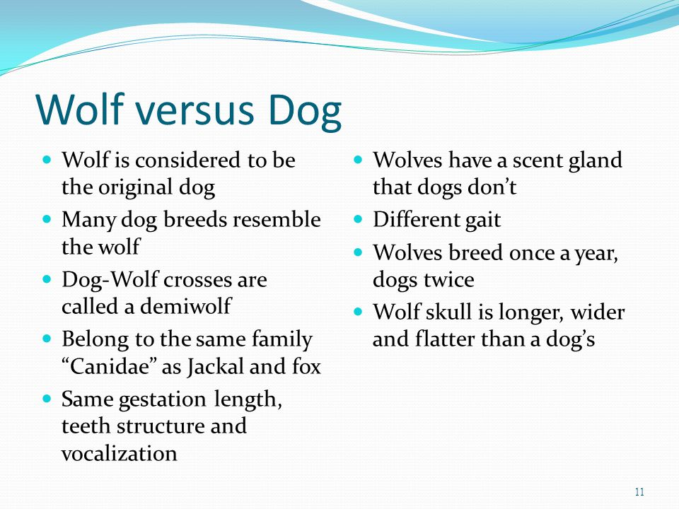 Wolf versus Dog Wolf is considered to be the original dog Many dog breeds resemble the wolf Dog-Wolf crosses are called a demiwolf Belong to the same family Canidae as Jackal and fox Same gestation length, teeth structure and vocalization Wolves have a scent gland that dogs don't Different gait Wolves breed once a year, dogs twice Wolf skull is longer, wider and flatter than a dog's 11