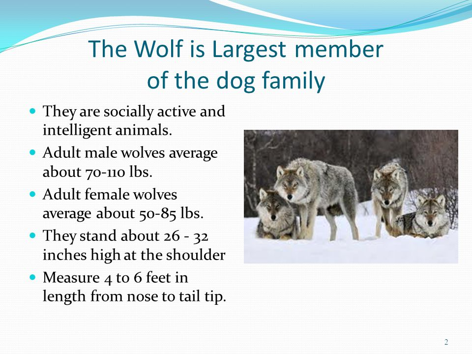 The Wolf is Largest member of the dog family They are socially active and intelligent animals. Adult male wolves average about 70-110 lbs. Adult femal