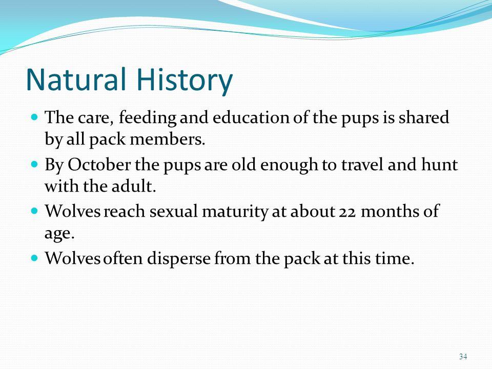 Natural History The care, feeding and education of the pups is shared by all pack members.