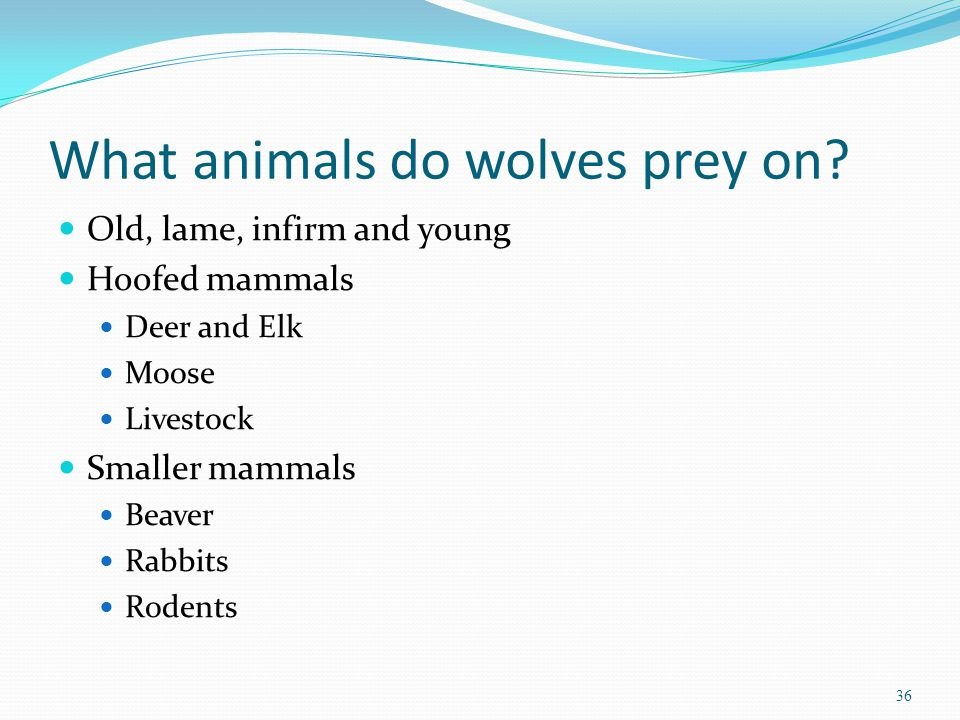 What animals do wolves prey on? Old, lame, infirm and young Hoofed mammals Deer and Elk Moose Livestock Smaller mammals Beaver Rabbits Rodents 36