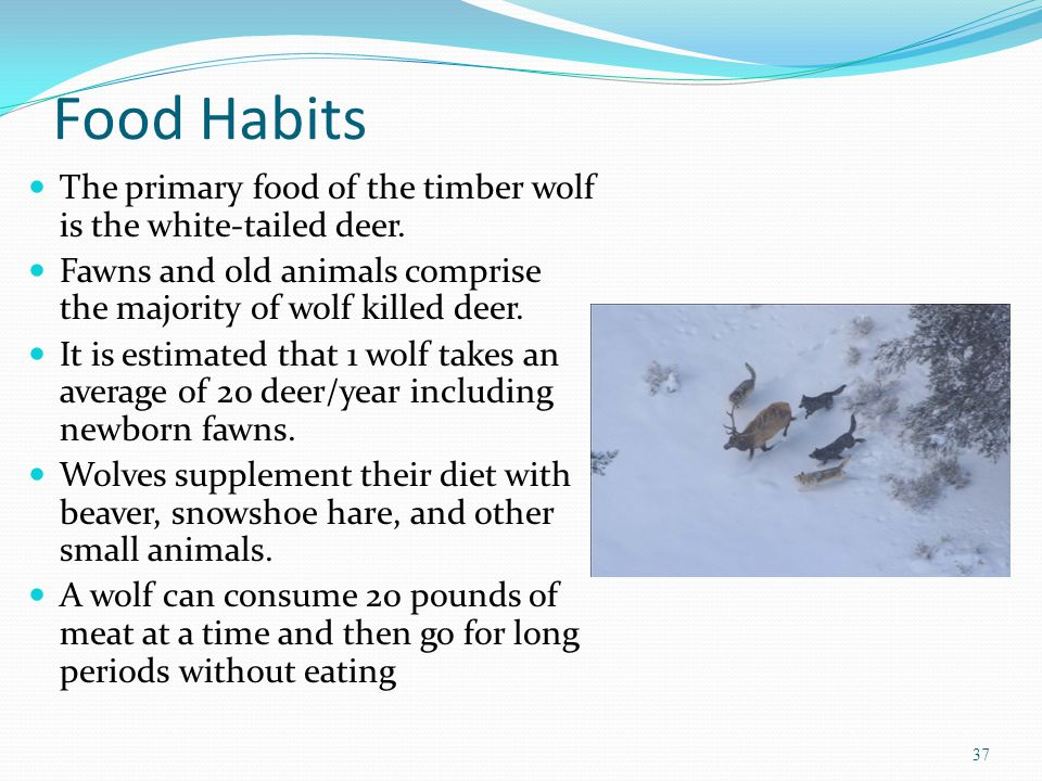 Food Habits The primary food of the timber wolf is the white-tailed deer.