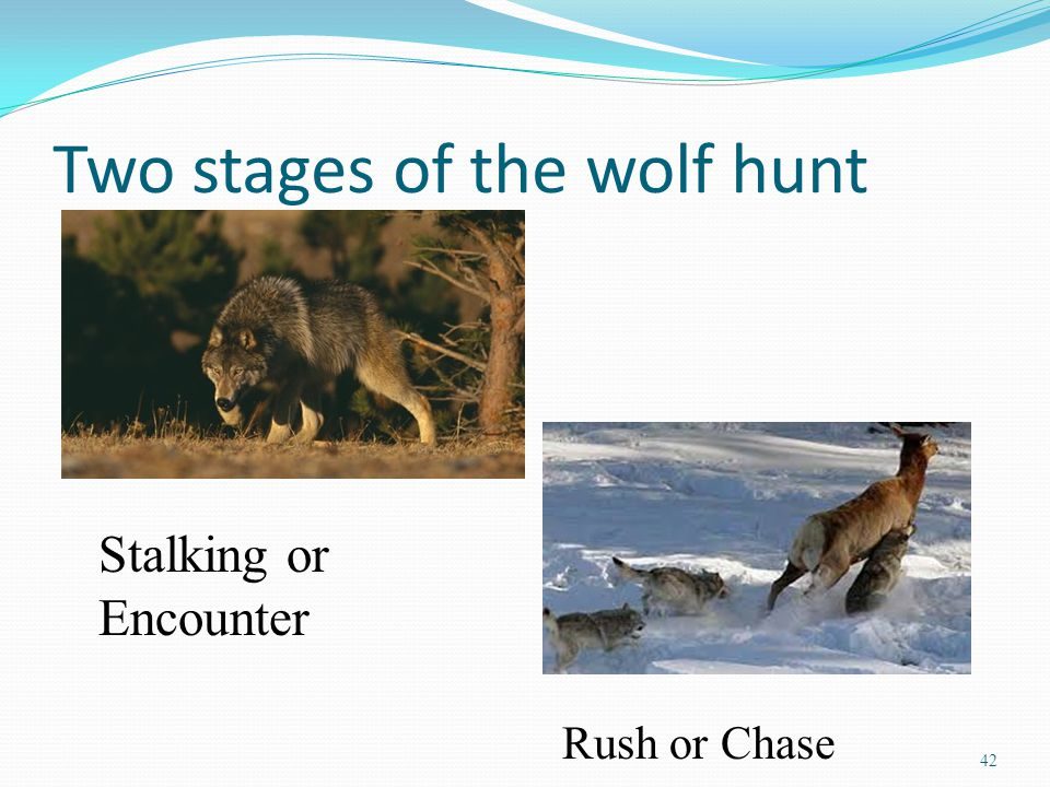 Two stages of the wolf hunt 42 Stalking or Encounter Rush or Chase