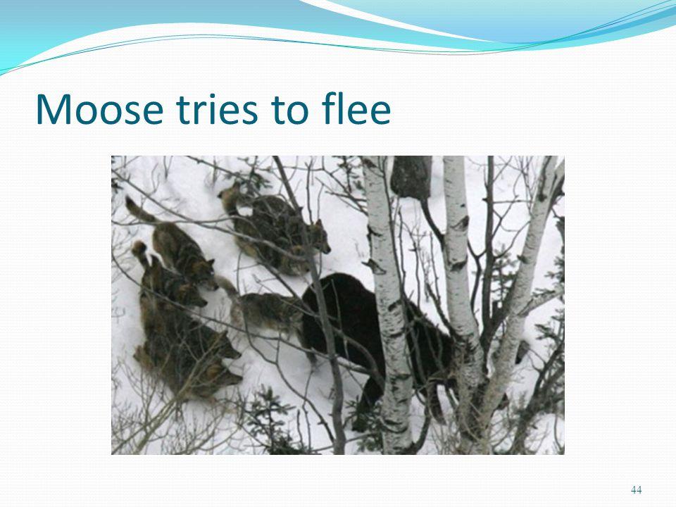 Moose tries to flee 44