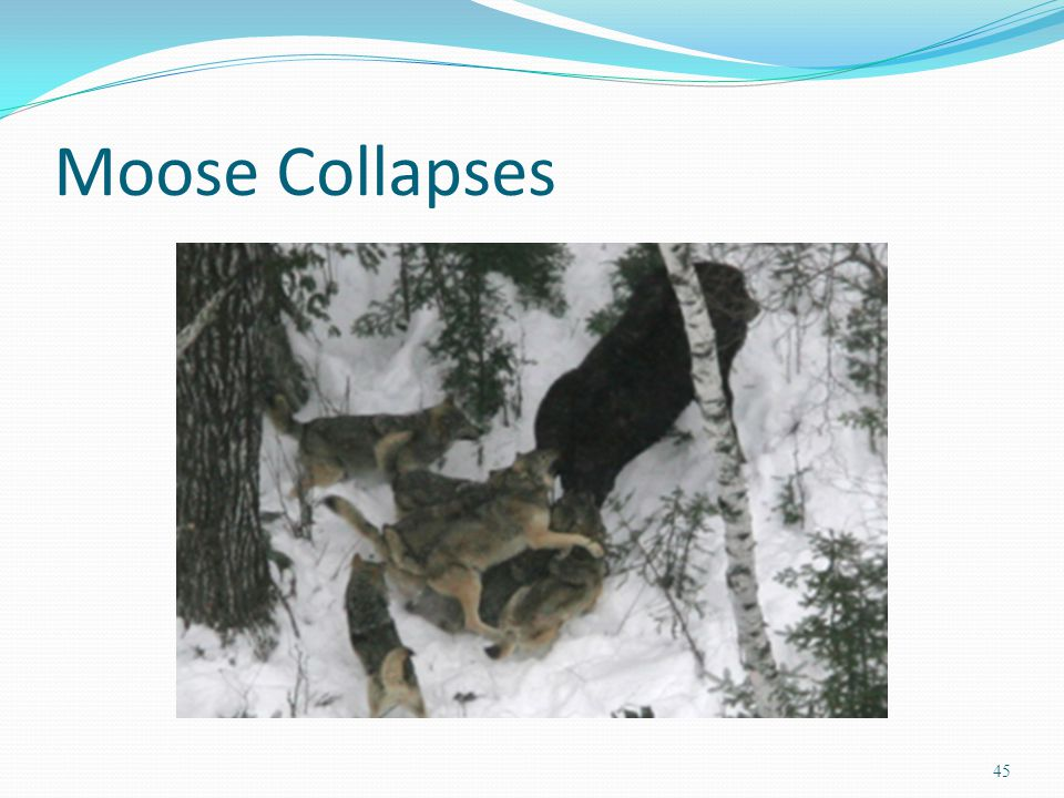 Moose Collapses 45