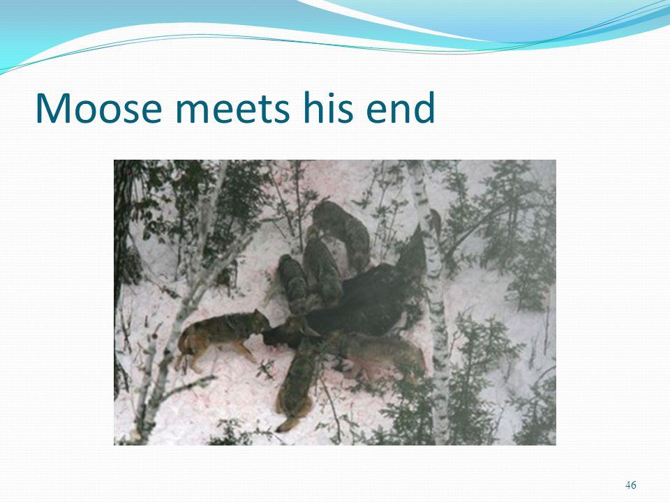 Moose meets his end 46