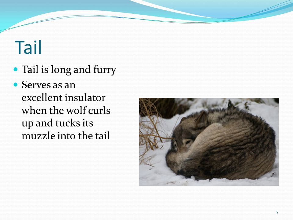 Tail Tail is long and furry Serves as an excellent insulator when the wolf curls up and tucks its muzzle into the tail 5