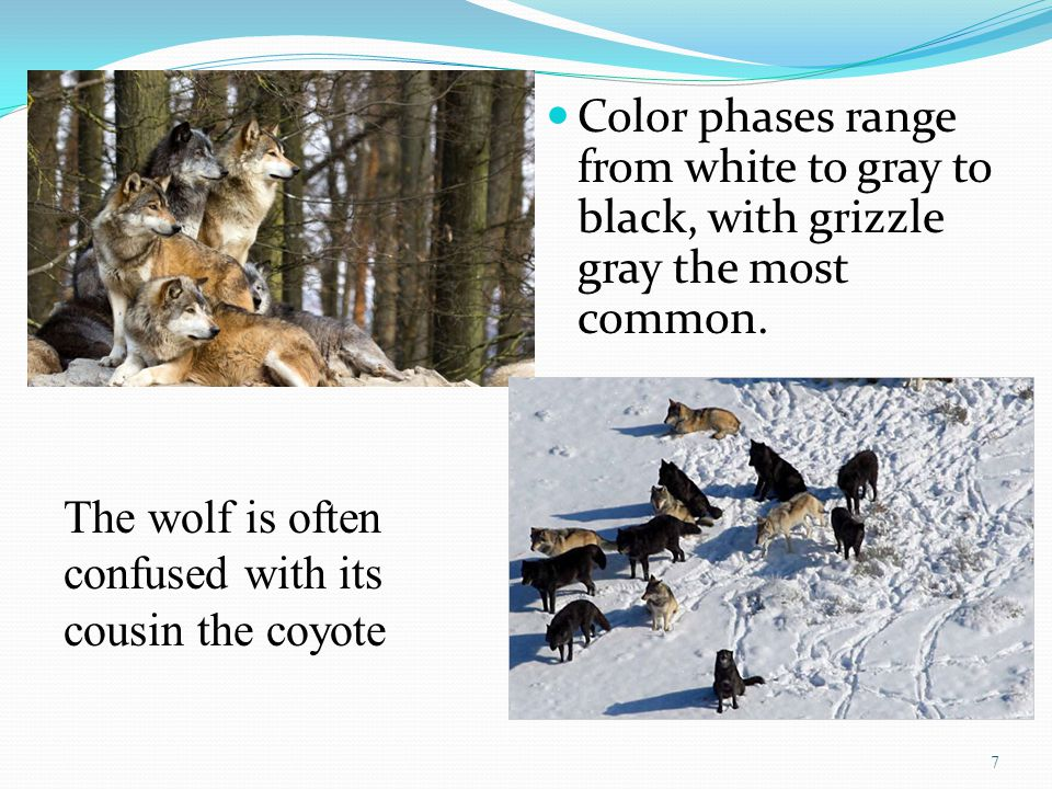 Color phases range from white to gray to black, with grizzle gray the most common. 7 The wolf is often confused with its cousin the coyote