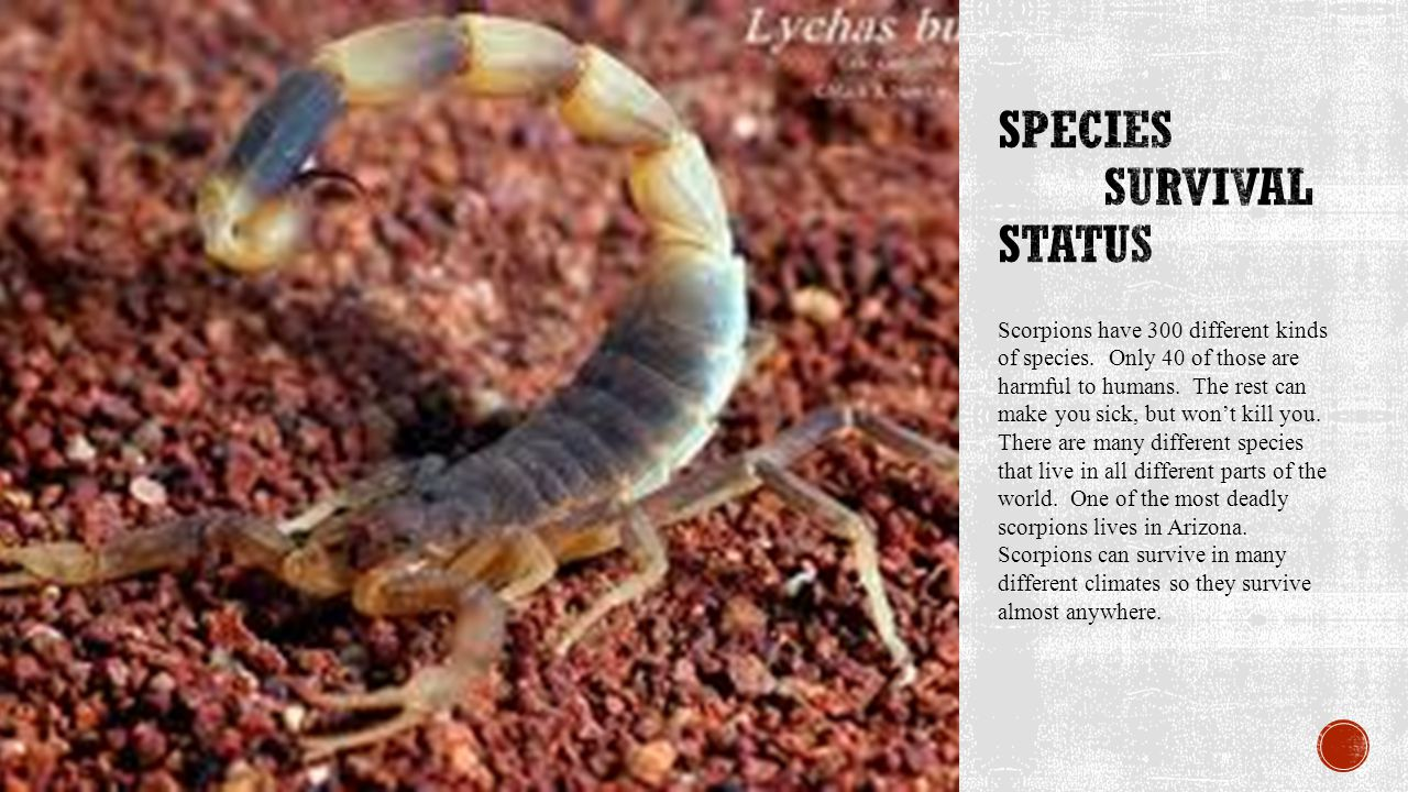 Scorpions have 300 different kinds of species. Only 40 of those are harmful to humans.
