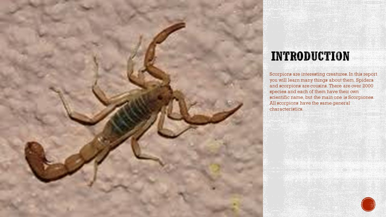 Scorpions are interesting creatures. In this report you will learn many things about them.