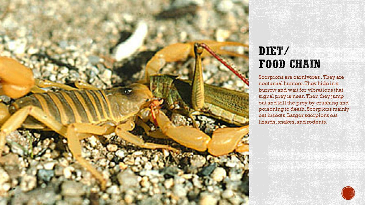 Scorpions mainly live in the desert.