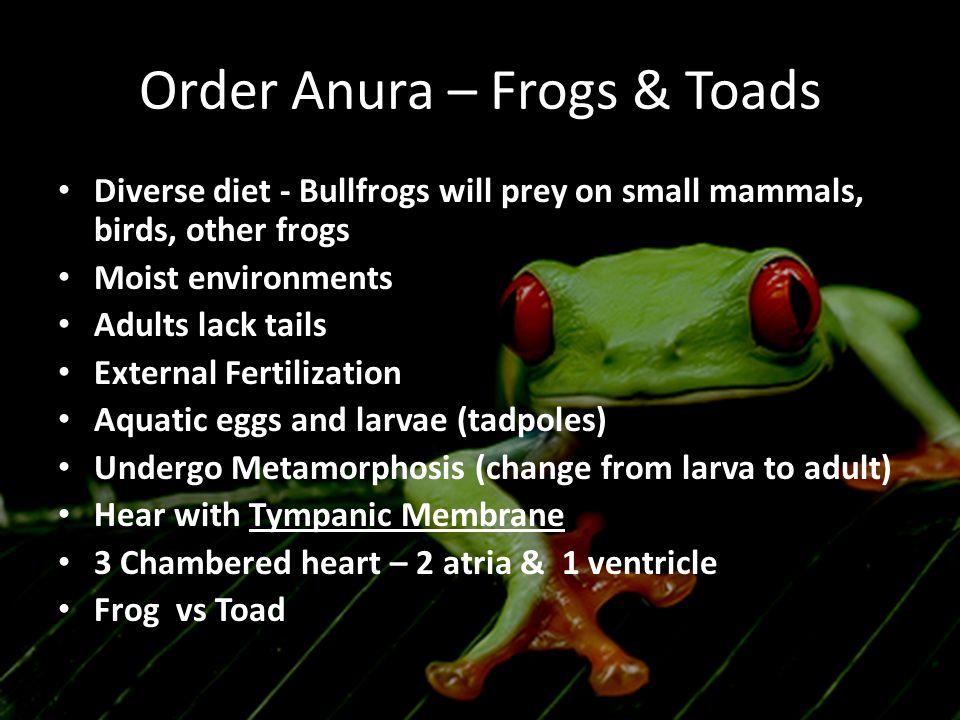 Order Anura – Frogs & Toads Diverse diet - Bullfrogs will prey on small mammals, birds, other frogs Moist environments Adults lack tails External Fert
