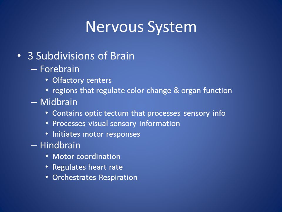 Nervous System 3 Subdivisions of Brain – Forebrain Olfactory centers regions that regulate color change & organ function – Midbrain Contains optic tec