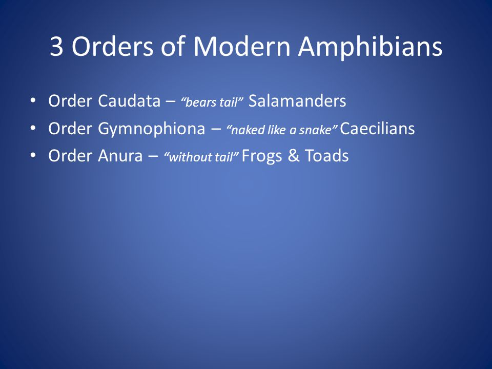 """3 Orders of Modern Amphibians Order Caudata – """"bears tail"""" Salamanders Order Gymnophiona – """"naked like a snake"""" Caecilians Order Anura – """"without tail"""