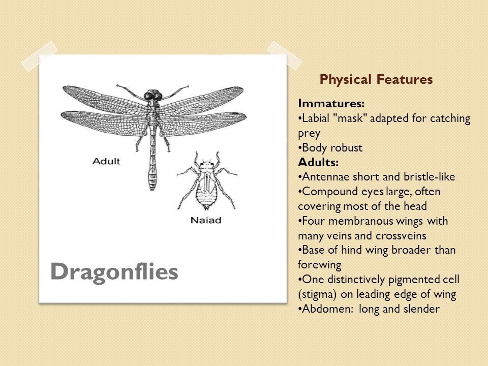 Physical Features Damselflies Immatures: Labial mask adapted for catching prey Three leaf-like gills at rear of abdomen Body usually long and slender Adults: Antennae short and bristle-like Compound eyes large, often covering most of the head Four membraneous wings with many veins and crossveins Base of wings narrow, stalk-like One distinctively pigmented cell (stigma) on leading edge of wing Abdomen: long and slender