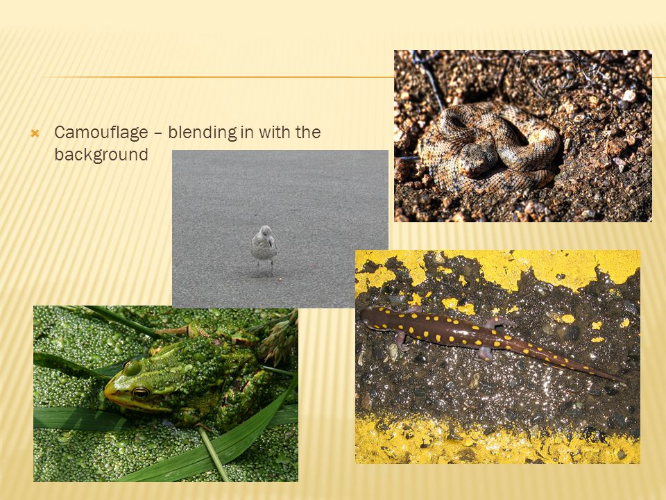 Camouflage – blending in with the background